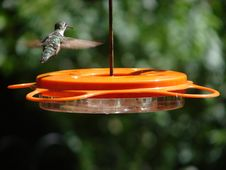 Free Hummingbird Finished Eating Stock Photography - 1090332