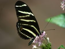 Free Black Butterfly Royalty Free Stock Image - 1090456