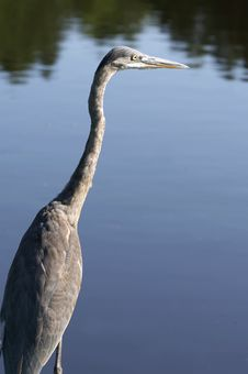 Free Blue Bird Royalty Free Stock Photos - 1090518
