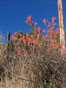 Free Indian Paint Brush Plant. 1 Stock Images - 1090694