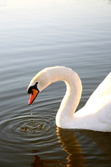 Free Swan Of Love Royalty Free Stock Images - 1091199