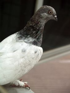 Free Pigeon Stock Photography - 1092442