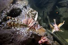 Free Lion Fish Royalty Free Stock Image - 1092676