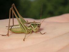 Free Grasshopper Stock Image - 1093771
