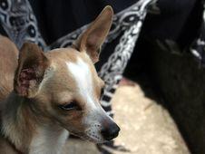 Free Chihuhua Dog Royalty Free Stock Image - 1094086