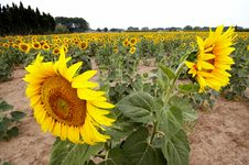 Free Sunflower Field Stock Images - 1094544