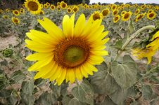 Free Sunflower Field Royalty Free Stock Image - 1094566