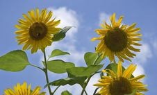 Summer Sunflowers Royalty Free Stock Photography
