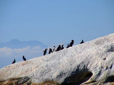 Free Standing In Line - Penguins And Cormorants Stock Photo - 1095650