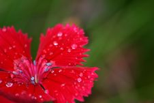 Free Red Carnation Stock Images - 1096084