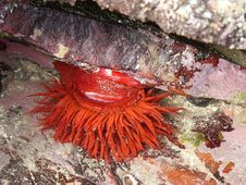 Free Sea Anemone On Lichen Covered Rocks Royalty Free Stock Photo - 1096325