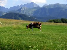 Free Cow Royalty Free Stock Photography - 1096587