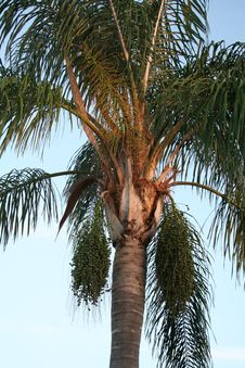 Free PALM TREE Royalty Free Stock Images - 1097909