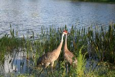Free 2 Sand Hill Cranes Stock Images - 1098104