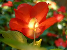Free Glowing Impatiens Royalty Free Stock Photography - 1098327