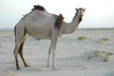 Free Camel 2 Stock Photo - 1098900