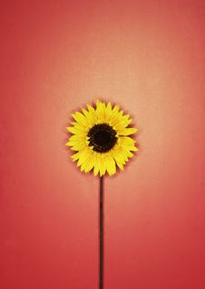 Free Yellow Flower Royalty Free Stock Images - 1099249