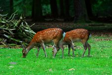 Free Two Grazing Deers Royalty Free Stock Image - 1099736