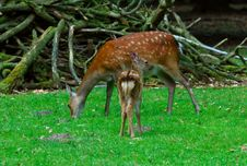 Free Young Deer And Mother Royalty Free Stock Photo - 1099745
