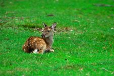 Free Young Deer Laying And Observing Royalty Free Stock Photos - 1099768