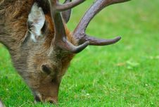 Free Old Deer Close Up Stock Photo - 1099780