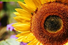 Free Single Sunflower Close-up Stock Image - 10908121