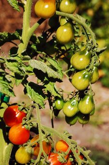 Free Red And Green Tomatoes Stock Image - 10908131