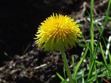 Free Flower, Yellow, Flora, Dandelion Stock Images - 109021474