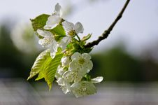 Free Blossom, Branch, Flower, Cherry Blossom Stock Photography - 109021542