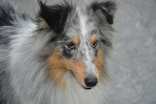 Free Dog, Rough Collie, Scotch Collie, Dog Breed Royalty Free Stock Photo - 109021545