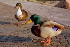 Free Duck, Bird, Mallard, Ducks Geese And Swans Stock Images - 109021874