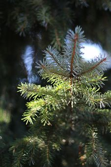 Free Spruce, Tree, Pine Family, Conifer Royalty Free Stock Photo - 109021975