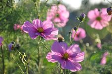 Free Flower, Garden Cosmos, Plant, Flowering Plant Royalty Free Stock Photography - 109022027