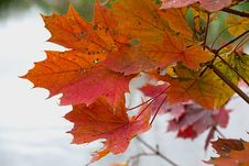 Free Maple Leaf, Leaf, Autumn, Maple Tree Stock Images - 109022054