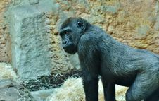 Free Great Ape, Fauna, Western Gorilla, Primate Stock Image - 109022121