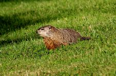 Free Fauna, Mammal, Ecosystem, Marmot Royalty Free Stock Photo - 109022125