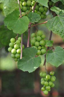 Free Grape, Grapevine Family, Fruit, Seedless Fruit Royalty Free Stock Images - 109022129