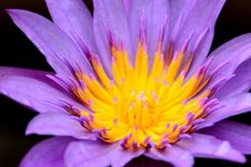 Free Flower, Flora, Yellow, Purple Royalty Free Stock Photo - 109022395