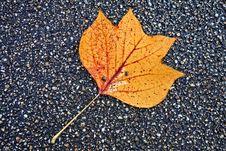 Free Leaf, Plant, Maple Leaf, Autumn Stock Image - 109022421