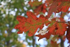 Free Leaf, Autumn, Maple Leaf, Tree Royalty Free Stock Images - 109022429