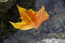 Free Leaf, Maple Leaf, Autumn, Plant Stock Photography - 109022432