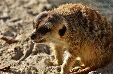Free Meerkat, Mammal, Fauna, Viverridae Royalty Free Stock Photo - 109022435