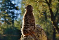 Free Meerkat, Mammal, Fauna, Terrestrial Animal Stock Photography - 109022512
