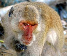 Free Macaque, Mammal, Fauna, Primate Royalty Free Stock Images - 109022519