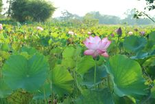 Free Flower, Plant, Lotus, Sacred Lotus Stock Image - 109022571
