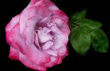 Free Flower, Rose, Rose Family, Pink Royalty Free Stock Photos - 109022648