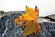 Free Leaf, Maple Leaf, Autumn, Tree Stock Image - 109022661