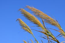 Free Sky, Grass Family, Grass, Rye Royalty Free Stock Photography - 109022697
