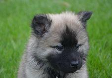 Free Dog, Dog Like Mammal, Dog Breed, German Spitz Royalty Free Stock Image - 109022766