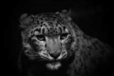 Free Wildlife, Leopard, Face, Black Royalty Free Stock Images - 109022769